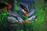 Asian Arowana Super Red Chilli Red Arowana And Other Aros Fishes Now R