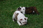 Cute and Adorable English Bulldog puppies ready to be rehomed