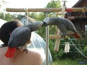 African Gray Parrots For Adoption(Re-Home)