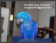 Lovely Hyacinth Macaws For Adoption