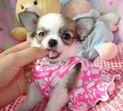 Gorgeous Pedigree Chihuahua