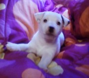 Very Cute Jack Russell Terrier Puppy