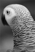 gray parrot for adoption